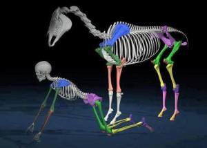 human-horse-skeletons